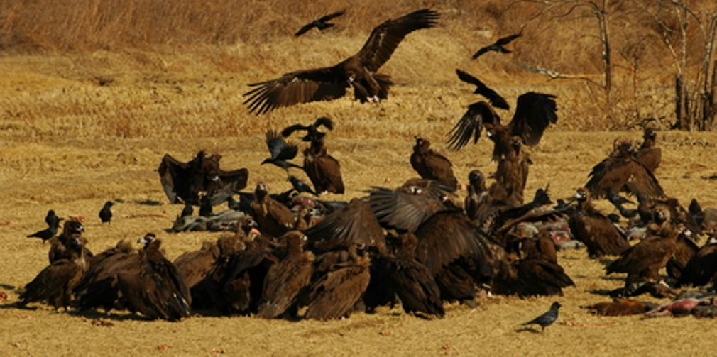 Vultures on Carcass